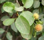 Mitragyna parvifolia, Sirakadambu Stock Photos