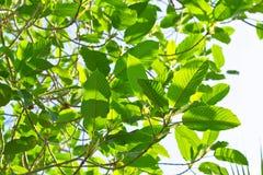 Mitragyna speciosa korth (krata) fotografia stock