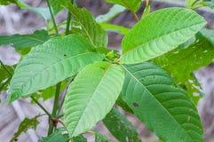 Mitragyna speciosa korth (kratom)从植物的一种药物 免版税库存图片