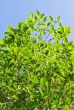 Mitragyna speciosa korth (kratom) Royalty Free Stock Image