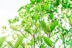 Mitragyna speciosa Korth. Located in the family Rubiaceae. The l. Eaves eaten as a drug It is a medicinal plant and is addictive. Isolated this has clipping path Stock Images