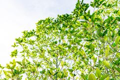 Mitragyna speciosa Korth. Located in the family Rubiaceae. The l. Eaves eaten as a drug It is a medicinal plant and is addictive.  this has clipping path with Stock Image