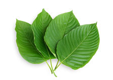 Mitragyna speciosa Korth. Stock Photo