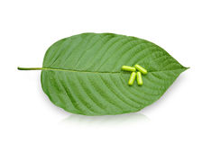 Mitragyna speciosa Korth. Located in the family Rubiaceae.  The leaves eaten as a drug It is a medicinal plant and is addictive. Isolated this has clipping Stock Photography