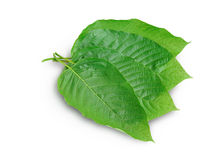 Mitragyna speciosa Korth. Located in the family Rubiaceae.  The leaves eaten as a drug It is a medicinal plant and is addictive. Isolated this has clipping Stock Images