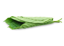 Mitragyna speciosa Korth. Located in the family Rubiaceae. The leaves eaten as a drug It is a medicinal plant and is addictive. Isolated this has clipping Royalty Free Stock Image