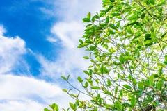 Mitragyna speciosa korth Lokalizować w rodzinnym Rubiaceae L fotografia royalty free