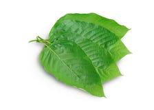 Mitragyna speciosa korth Lokalizować w rodzinnym Rubiaceae Liście jedzący jako lek Ja jest leczniczym rośliną i jest uzależniając obrazy stock