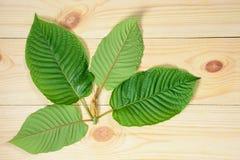 Mitragyna speciosa lub Krata liście obrazy stock