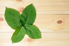 Mitragyna speciosa lub Krata liście zdjęcie stock