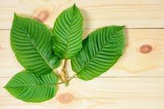 Mitragyna-speciosa oder Kratom-Blätter Stockfoto
