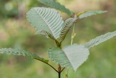 Mitragyna speciosakorth (kratom) en drog från växten arkivbild