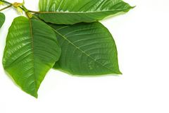 Mitragynina speciosa or Kratom leaves plant with branch Royalty Free Stock Images
