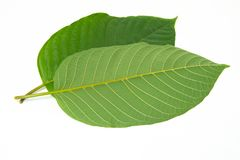 Mitragynina speciosa or Kratom leaves plant Stock Photography