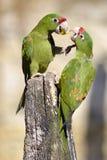 Mitred длиннохвостый попугай на деревянном столбе Стоковое фото RF