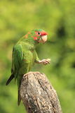 Mitred длиннохвостый попугай Стоковые Изображения