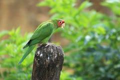 Mitred длиннохвостый попугай Стоковая Фотография RF