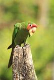 Mitred длиннохвостый попугай Стоковые Фотографии RF