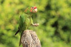 Mitred длиннохвостый попугай Стоковое фото RF