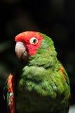 Mitred длиннохвостый попугай (mitrata Psittacara) Стоковое Изображение