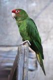 Mitred длиннохвостый попугай (mitrata Psittacara) Стоковая Фотография