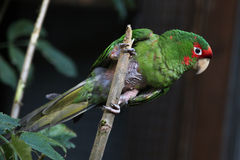 Mitred длиннохвостый попугай (mitrata Psittacara) Стоковые Изображения RF
