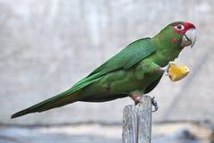 Mitred длиннохвостый попугай (mitrata Psittacara) Стоковые Фотографии RF