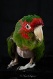 Mitred Conure Royalty Free Stock Images