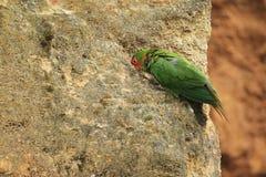 Mitred parakeet Royalty Free Stock Photos