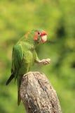 Mitred parakeet Stock Images