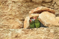 Mitred parakeets Stock Photography