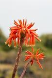 Mitriformis d'aloès de fleur Photographie stock libre de droits
