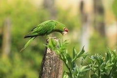 Mitrowy parakeet zdjęcia royalty free
