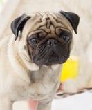Mitt älskvärda hundmopsnamn Zumo Arkivbilder