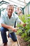 Mitt åldrades par som sköter tomatväxter i växthus Arkivfoton