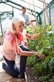 Mitt åldrades par som sköter tomatväxter i växthus Royaltyfria Bilder