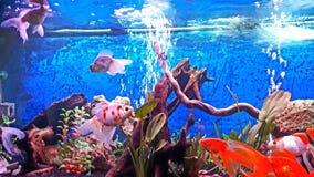 Mitt akvarium med skyler svansguldfiskar & x28; panda schubukin, & x29; Royaltyfri Foto