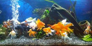 mitt akvarium med vailteilguldfisken Arkivfoto