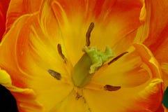 Mitt för prinsessa Irene Tulip royaltyfri fotografi