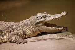 Mitt för pöl för Chongqing krokodilkrokodil Royaltyfri Foto