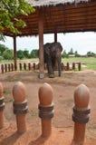 Mitt Surin Thailand för studie för BanTaKlang elefantby Royaltyfri Fotografi