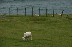 Mittagessen des Schafs Stockfoto