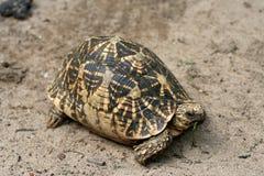 Mittagessen einer Schildkröte Stockfotos
