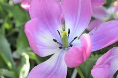 Mitte der rosa Tulpe im Abschluss oben lizenzfreie stockfotos