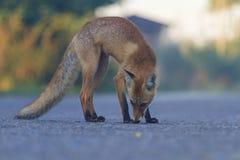 Mitte des roten Fuchses der Fahrbahn bei Sonnenaufgang lizenzfreie stockfotografie