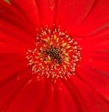 Mitte einer roten Blume Stockfoto