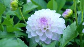 Mitte einer weißen Dahlie mit den rosa und magentaroten Markierungen Lizenzfreies Stockbild