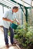 Mitte gealterte Mann-Bewässerungstomatenpflanzen im Gewächshaus Lizenzfreie Stockfotografie