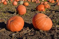 Mitte mit zwei große orange Kürbisen des Feldes auf Herbst (Ernte Lizenzfreies Stockbild