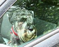 Mittel schnauzer pies lewy w samochodzie samotnie Zdjęcie Royalty Free
